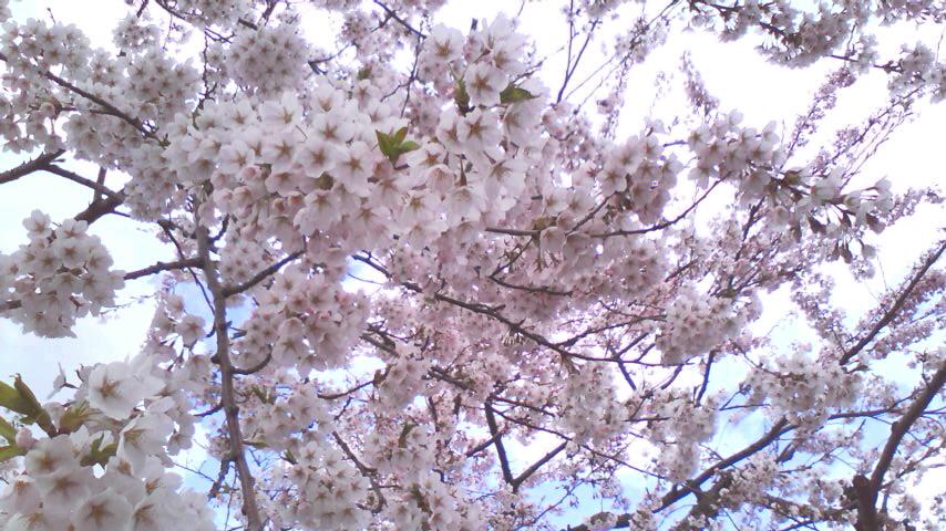 お花見2010